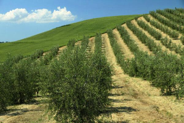 olive-Oil-Blog-6 copy