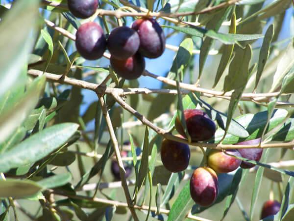 olive-blog4
